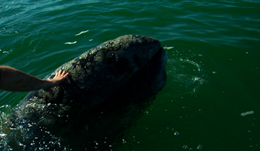xCREW Producer Michael Harris meets one of Bajas friendly gray whales photo Kevin Ely